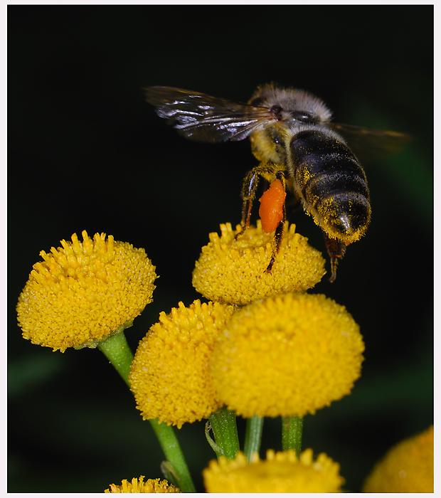 Ein Pollenhöschen...