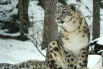 Ein Prachtkerl von Schneeleopard