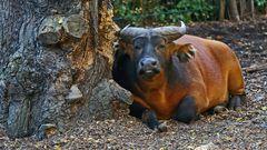 Ein prächtiger Rotbüffelbulle, der vor Kraft strotzt...