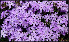 Ein Rausch in Violett