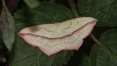 Ein recht farbintensives Exemplar des Ampferspanners (Timandra comae) ...