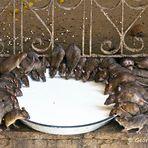 Ein reich gedeckter Tisch - für Ratten