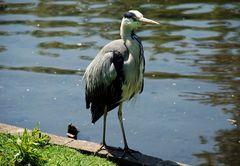 Ein Reiher im Dubliner-Zoo