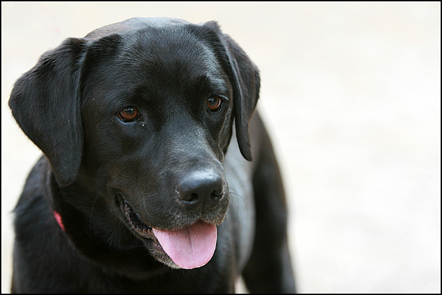 Ein reinrassiger Labrador...