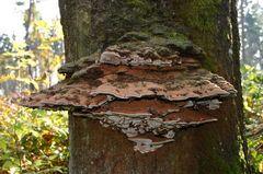 Ein Riesenexemplar von einem Baumpilz