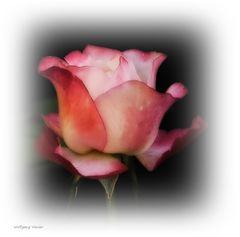 Ein Rosengruss