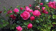 Ein Rosengruß an alle Freunde und ich habe noch zwei....