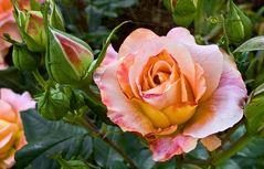 Ein Rosengruß zum Sonntag!