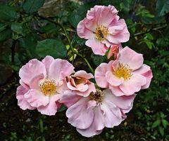 Ein Rosengruß zum Wochenende!