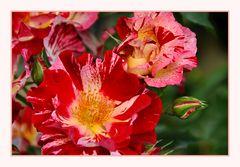 ein Rosentraum.....