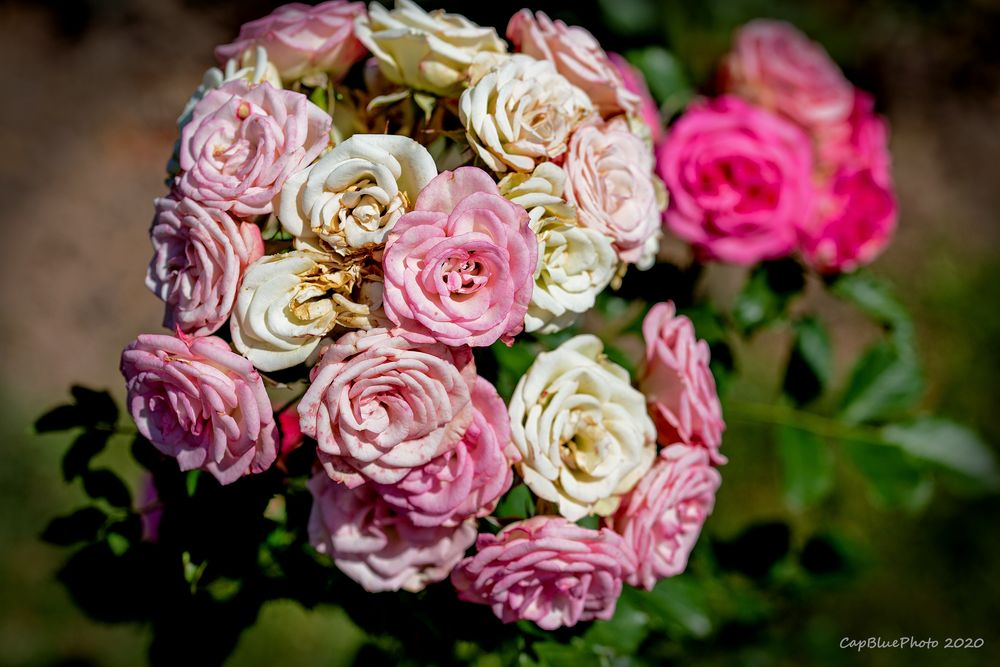 Ein Rosenwalzer voller Farben