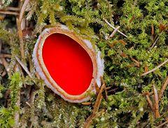 Ein rotes Schmuckstück aus dem Wald, ein Kelchbecherling (Sarcoscypha) *