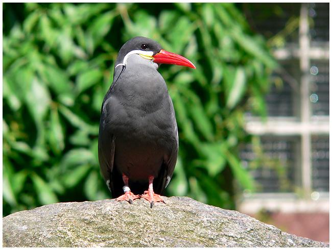 Ein rotschnabliger Vogel