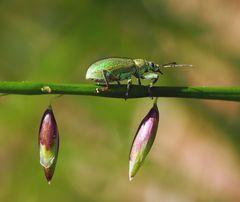 Ein Rüsselkäfer (Phyllobius virideaeris) *