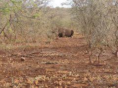 Ein ruhender Nashorn-Bulle .