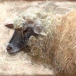Ein Schaf ...