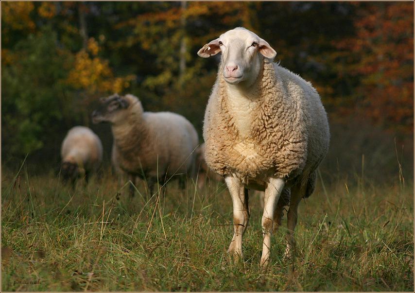 Ein Schaf im Herbstpelz