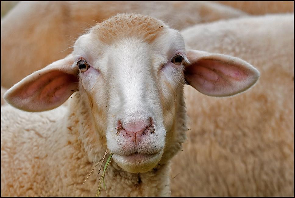 Ein Schaf unter Schafen