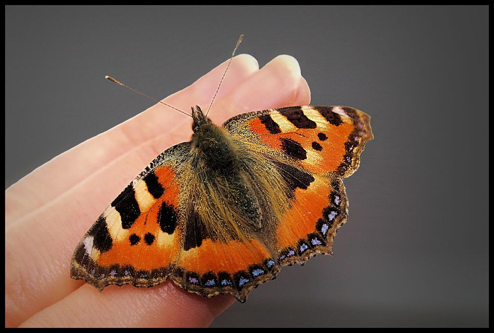 Ein Schmetterling auf Hausbesuch...