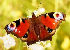 Ein Schmetterling kommt selten allein