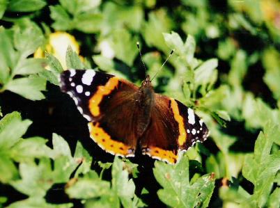 ein Schmetterling sonnt sich