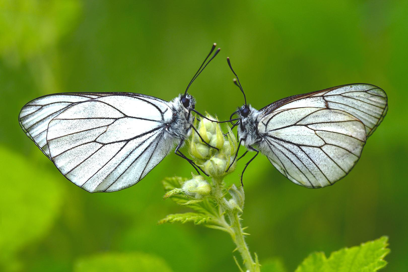 Ein Schmetterlingspaar, das sich die Hand fürs Leben reicht...