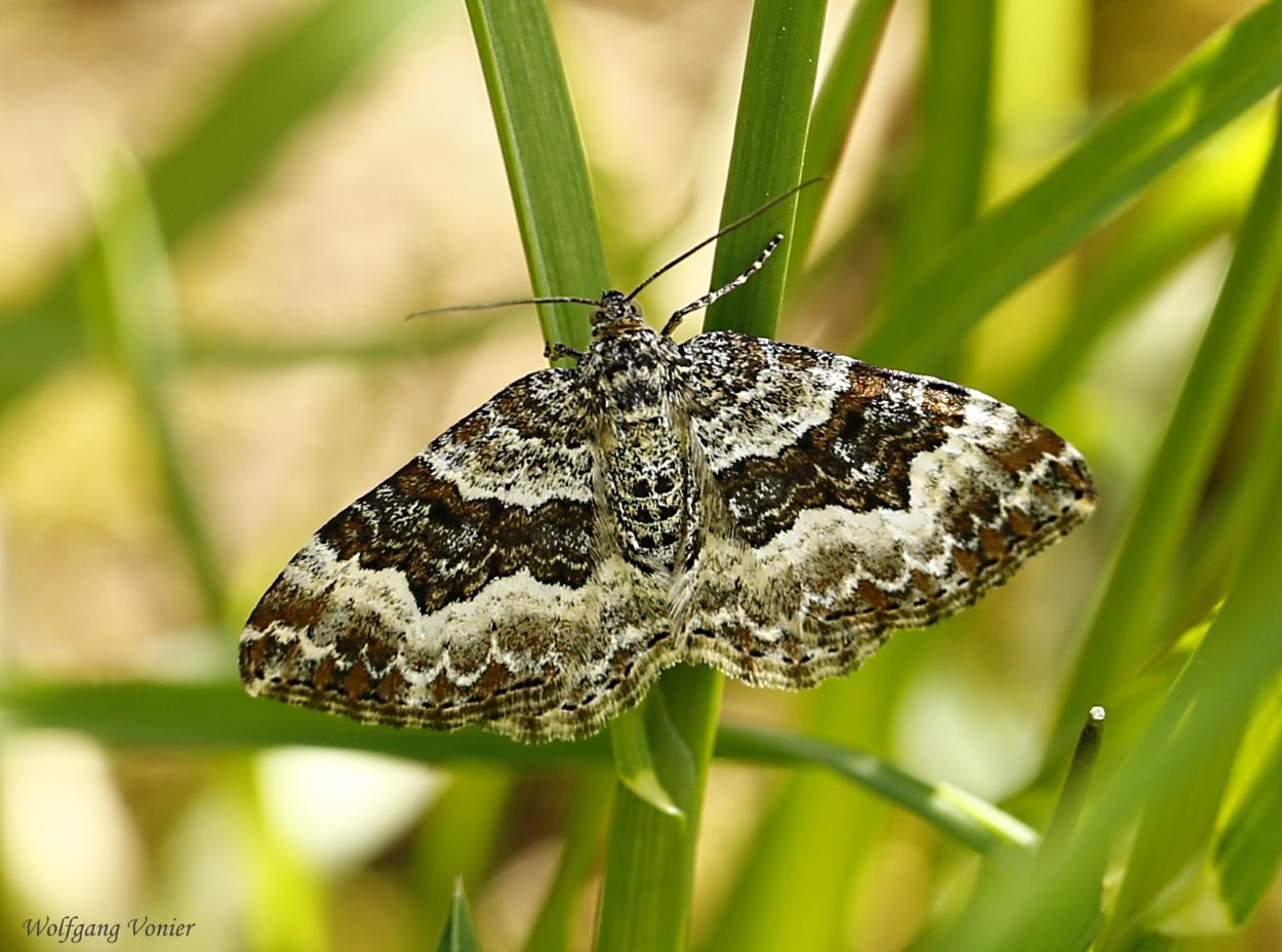 Ein Schmetterling/Spanner