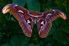 Ein Schmetterlingsriese