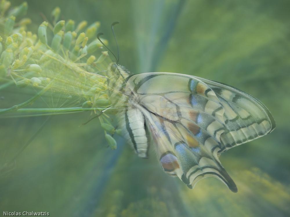 ~ Ein Schmetterlingstraum ~