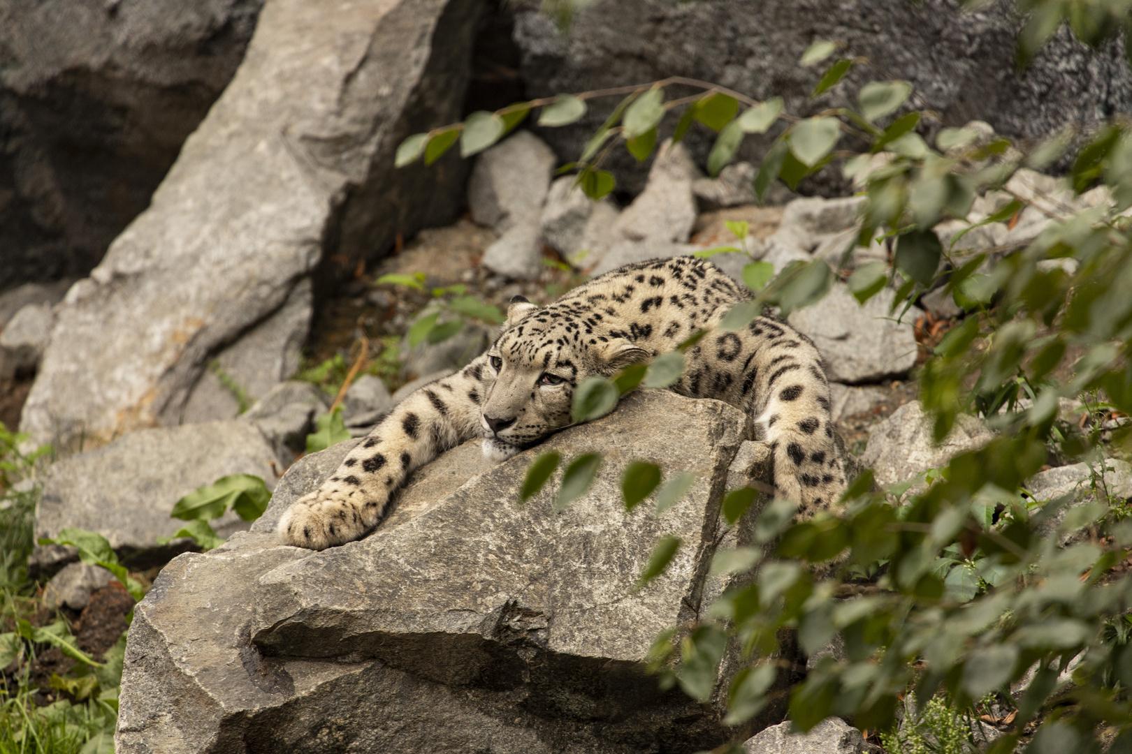 Ein Schneeleopart / snow leopard