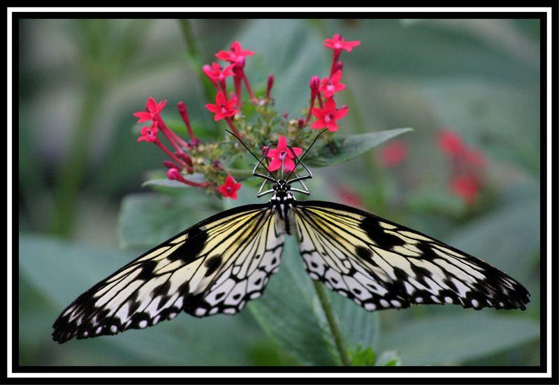 Ein schöner Lepidoptera