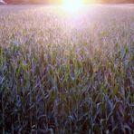 Ein schöner Mais
