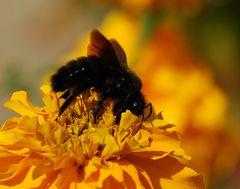 Ein schwarzer Hummel # Un abejorro negro