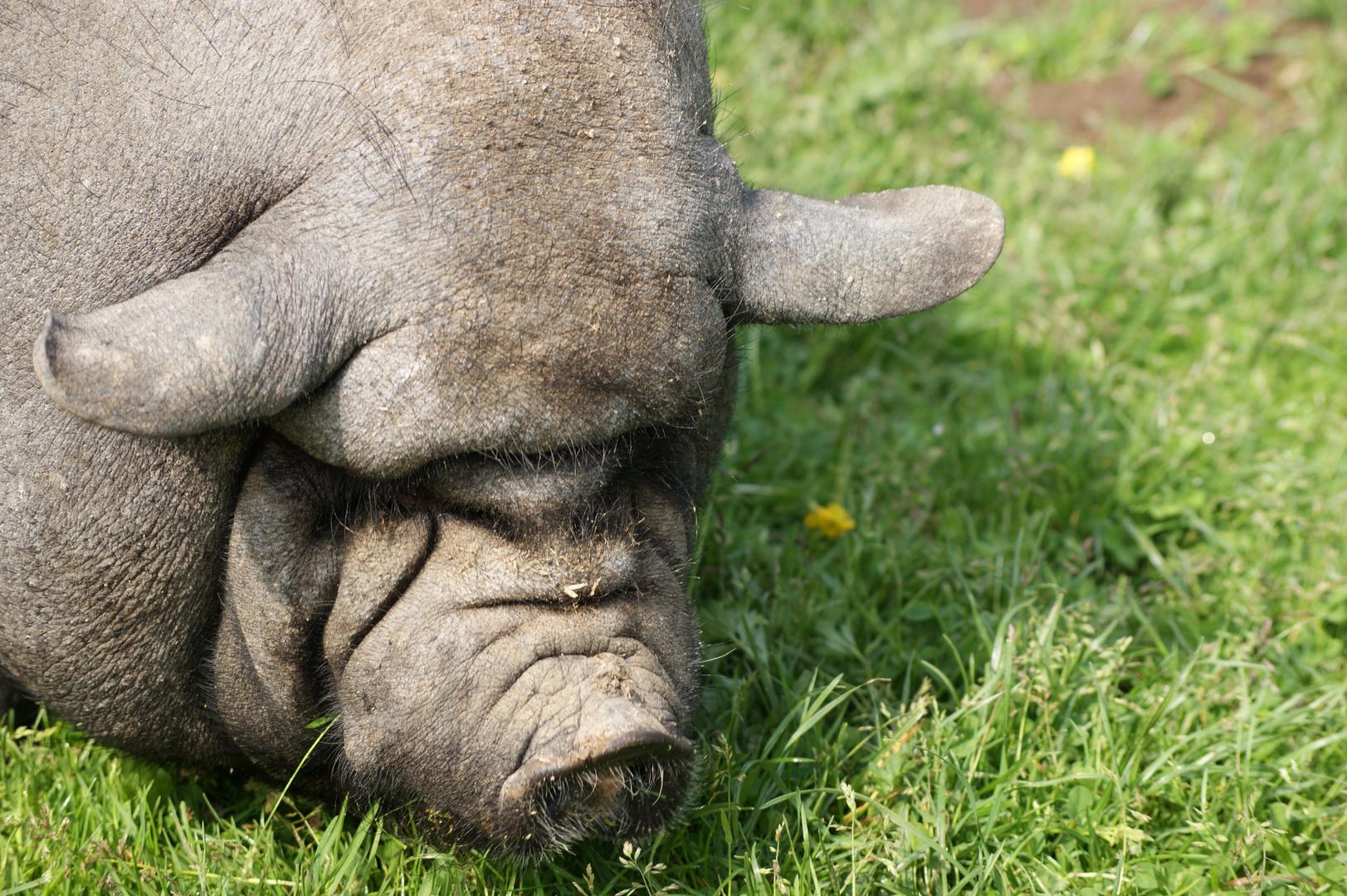 dickes schwein