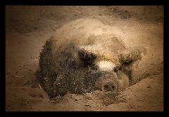 Ein Schwein mit goldenem Halsband bleibt ein Schwein…..