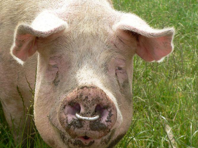 Ein Schwein namens Babe?