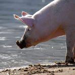 Ein Schweinchen...