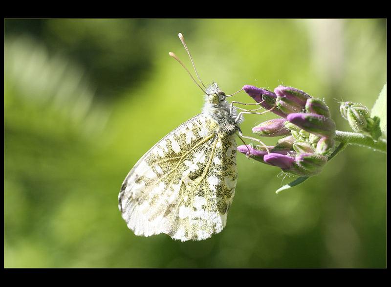 Ein sehr geduldiger Schmetterling...