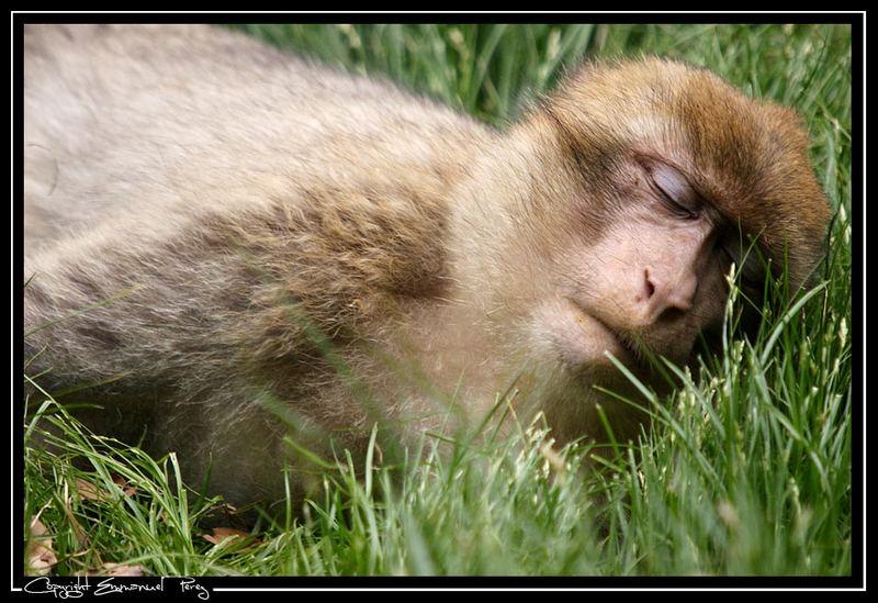 Ein sehr müdes Affchen