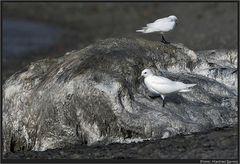 Ein sehr seltener Vogel...