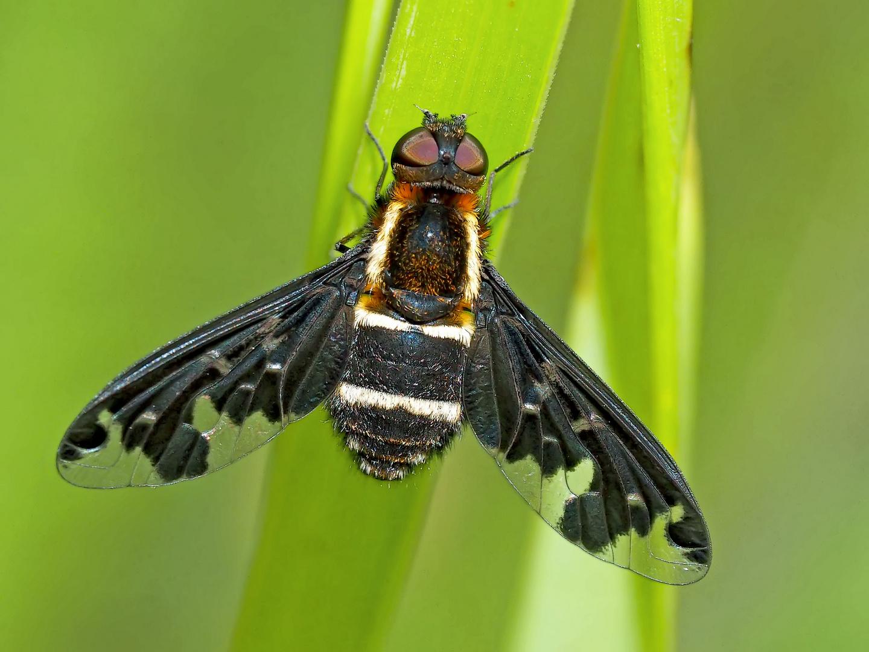 Ein seltener Gast unter den Insekten ... - Bombyle, genre Hemipenthes maurus.