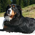 Ein Sennerhund ...zum knuddeln...