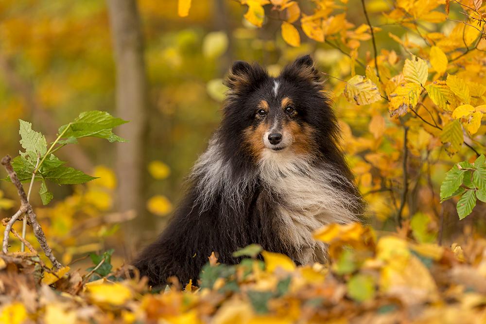 Ein Sheltie im Herbst