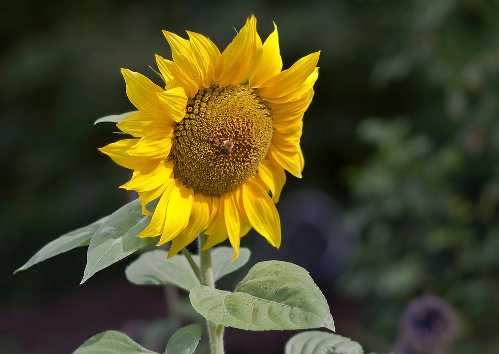 Ein Sommer ohne Sonnenblume...