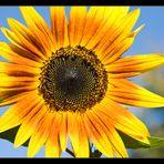 Ein sonniger Sonntag mit Sonnenblume