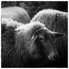 ein Sonntag unter Schafen...
