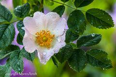 Ein Sonntagsblümchen