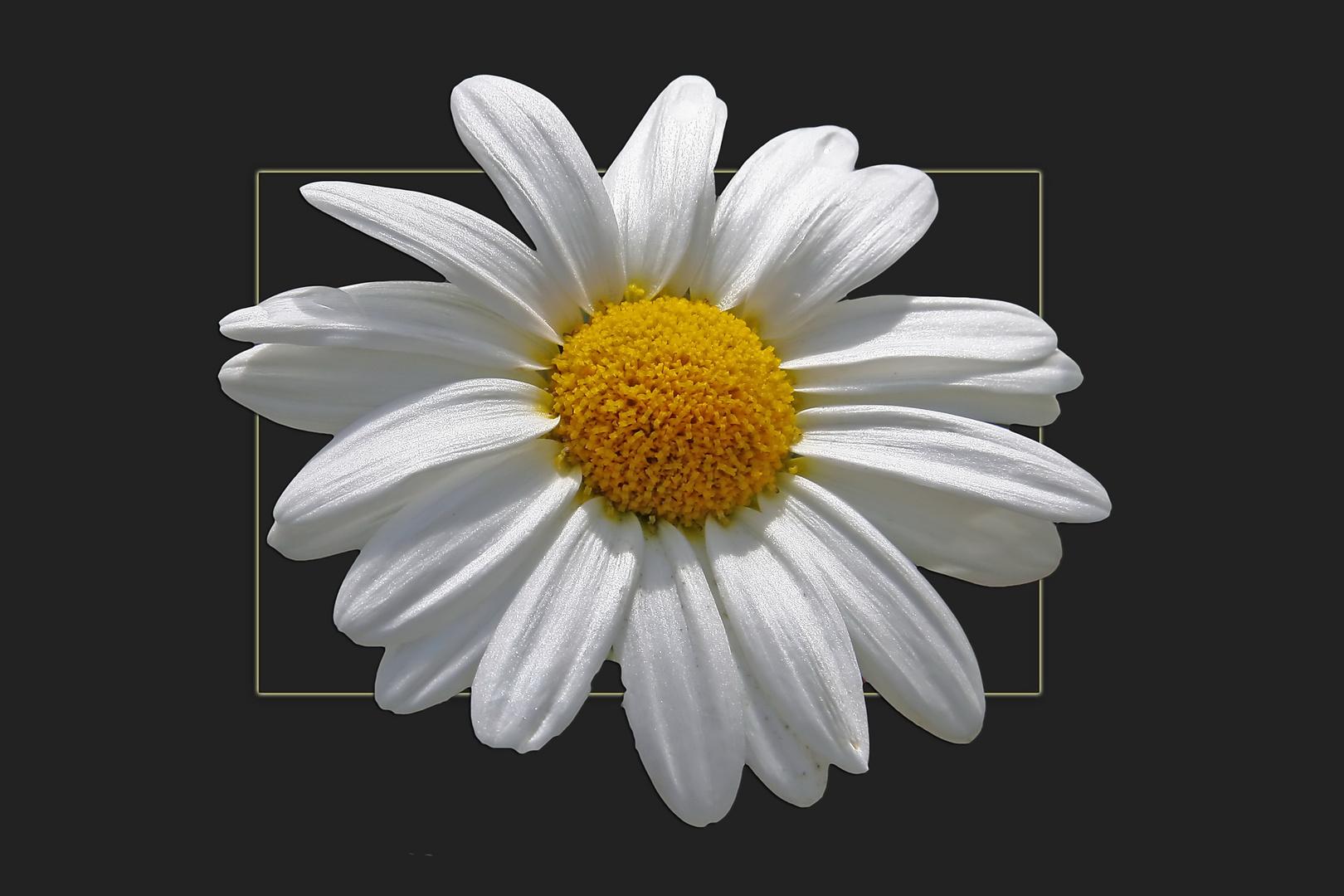 Ein Sonntagsblümchen..