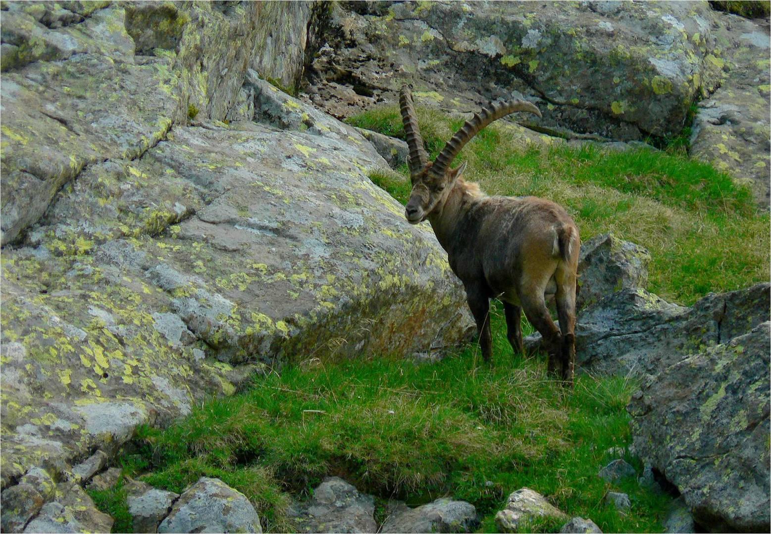 Ein Steinbock in den Stubaier Alpen