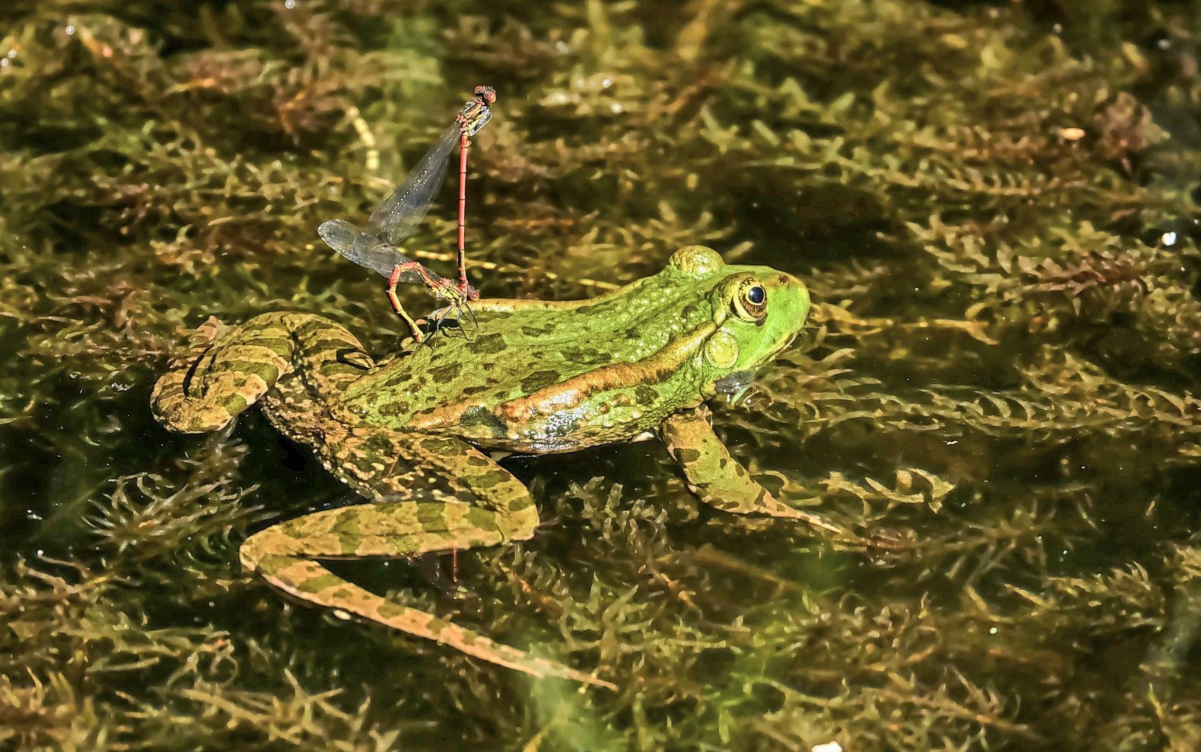 Ein Stelldichein auf dem Froschrücken